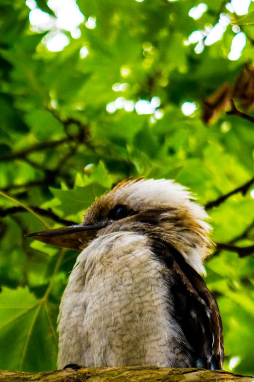 Kookaburra sits inthe….
